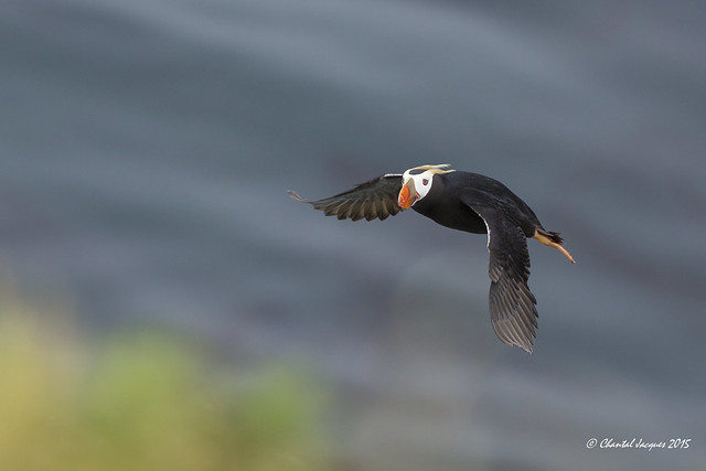 Tufted Puffin in flight, St Paul Island