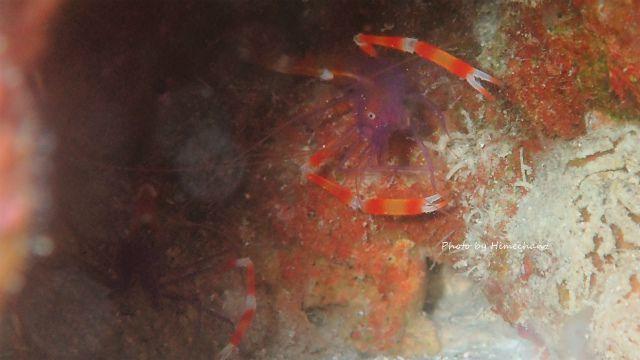 ステノプス・テヌイロストリス(バイオレットボクサーシュリンプ)のペア