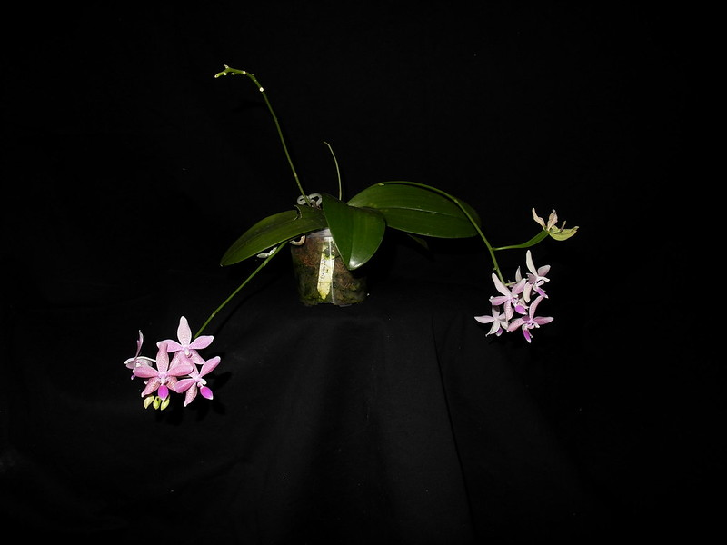 Phalaenopsis pallens x equestris( GK's Pallestris) 19867717034_f0a2edb190_c