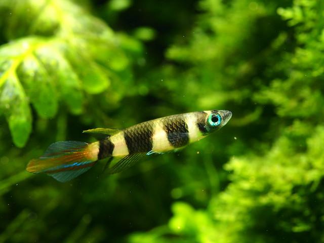 P7254160 斑節鱂