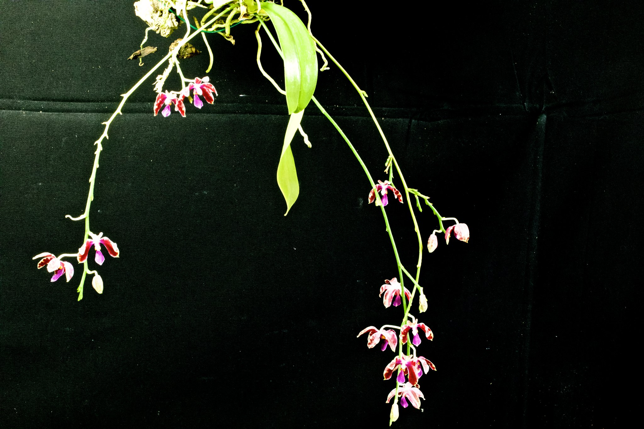 Phalaenopsis mariae x pulchra 20394510945_59ddc8254d_k