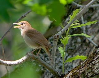 Западный (Южный) соловей / Luscinia megarhynchos / Common nightingale (Nightingale) / Nachtigall / Южен славей
