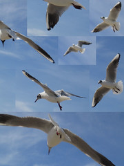 albatross(0.0), european herring gull(0.0), gannet(0.0), animal migration(1.0), animal(1.0), charadriiformes(1.0), wing(1.0), fauna(1.0), gull(1.0), bird migration(1.0), beak(1.0), bird(1.0), flight(1.0), seabird(1.0),