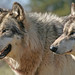 Wolf Park, IN by doghike
