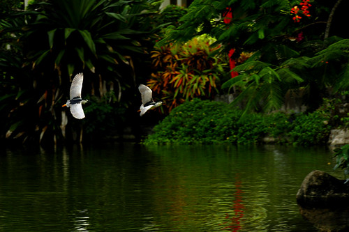 a dominance dispute in the paradise... herons from bali♫