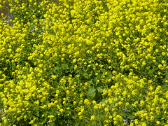 canola(1.0), annual plant(1.0), shrub(1.0), vegetable(1.0), flower(1.0), field(1.0), yellow(1.0), mustard plant(1.0), brassica rapa(1.0), plant(1.0), mustard(1.0), wildflower(1.0), produce(1.0), rapeseed(1.0),