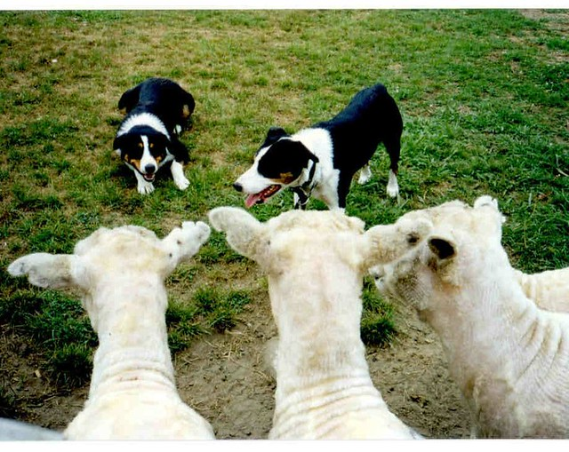 Dog Hearding Sheep In Less Then  Minutes