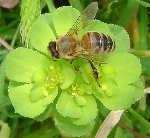 Green Bee!