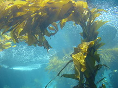 algae, seaweed, macrocystis pyrifera, sunlight, sea, macrocystis, marine biology, underwater, reef, kelp,