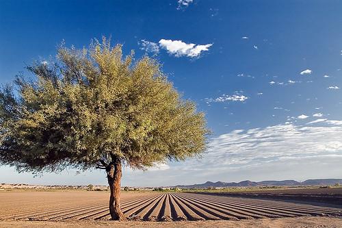 Picacho Farmfield