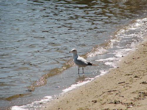 Sea gull walking on the beach