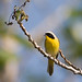 Common Yellowthroat by Bill Walker