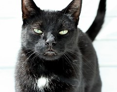 animal, small to medium-sized cats, pet, mammal, black cat, bombay, cat, burmese, whiskers, black, nebelung,