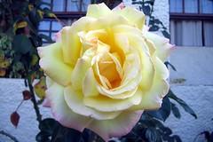 flower bouquet(0.0), floristry(0.0), garden roses(1.0), floribunda(1.0), flower(1.0), yellow(1.0), rosa foetida(1.0), flora(1.0), petal(1.0),
