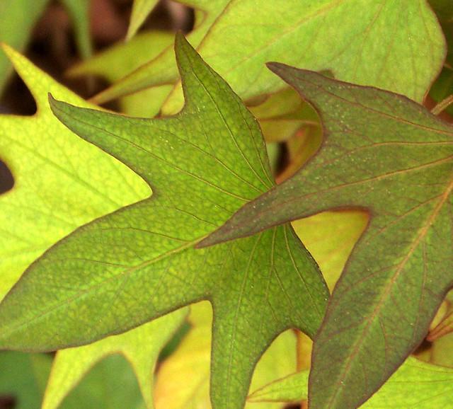 Sweet Potato Leaves Flickr Photo Sharing