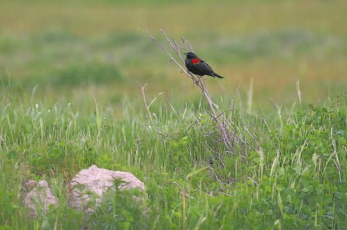 california red bird 20d field fauna canon photo spring native 300mm photograph sacramento winged blackbird placercounty rocklin f4l copyrightedmaterialallrightsreserved copyrightedallrightsreserved familygetty2010 familygetty