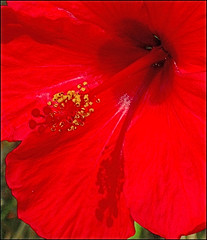 pink(0.0), poppy(0.0), flower(1.0), red(1.0), plant(1.0), coquelicot(1.0), chinese hibiscus(1.0), petal(1.0),