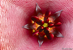 Stapelia schinzii var. schinzii flower macro