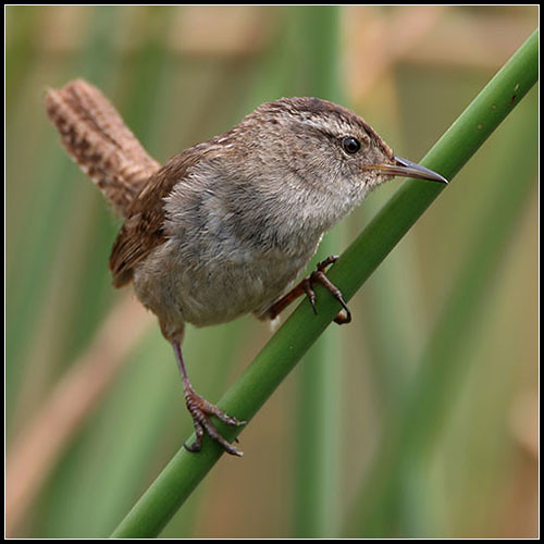 bird birds bravo quality wren marshwren cistothoruspalustris birdoftheday specnature specanimal