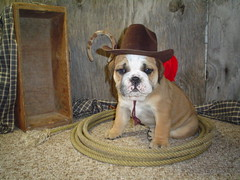 Odie Our English Bulldog Cowboy Im Not Sure How Old He Wa Flickr