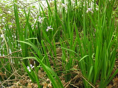 agriculture, flower, grass, plant, chrysopogon zizanioides, herb, meadow,