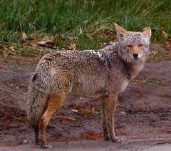 musk deer(0.0), animal(1.0), red wolf(1.0), mammal(1.0), jackal(1.0), grey fox(1.0), fauna(1.0), dhole(1.0), kit fox(1.0), coyote(1.0), wildlife(1.0),