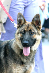 dog breed, german shepherd dog, animal, dog, pet, old german shepherd dog, east siberian laika, norwegian elkhound, tervuren, east-european shepherd, native american indian dog, shiloh shepherd dog, carnivoran,