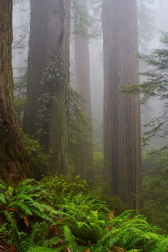 california park trees fog forest vines national redwood redwoods ferns crescentcity mywinners platinumphoto thegalleryoffinephotography
