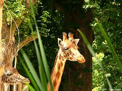 animal, nature, giraffe, fauna, jungle, giraffidae, wildlife,
