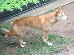 dog breed, animal, dingo, akita inu, west siberian laika, dog, czechoslovakian wolfdog, carolina dog, canaan dog, pet, shikoku, east siberian laika, tamaskan dog, greenland dog, finnish spitz, korean jindo dog, wolfdog, saarloos wolfdog, norwegian lundehund, carnivoran, icelandic sheepdog,