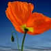 Do i look big ? spring flower and colour - Orange Poppy flower (Pavot orange)