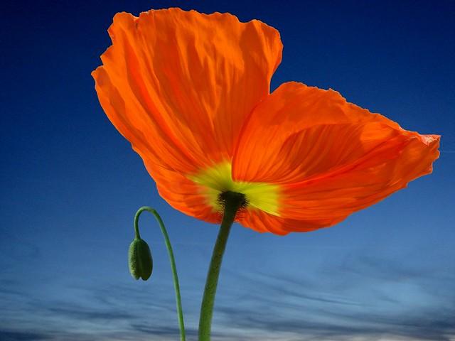 Flower passion a gallery on flickr do i look big spring flower and colour orange poppy flower pavot orange mightylinksfo