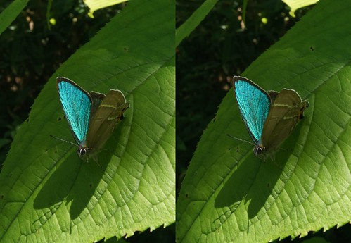 Chrysozephyrus smaragdinus, stereo parallel view
