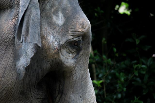 elephant's eye