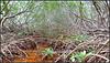 Crane Point Mangrove