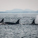 Orcas off Vancouver Island by sundwall98
