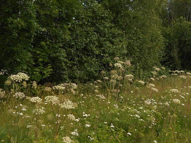 Niittykasveja 20.7.2015 C Espoon Leppävaara, vanhan Turuntien varsi