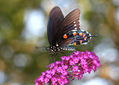 blue red orange butterfly northcarolina swallowtail butterflybush richmondcounty pipevineswallowtail battusphilenor thinfilminterference frequencywaves thinfilmiterference opticalactivity