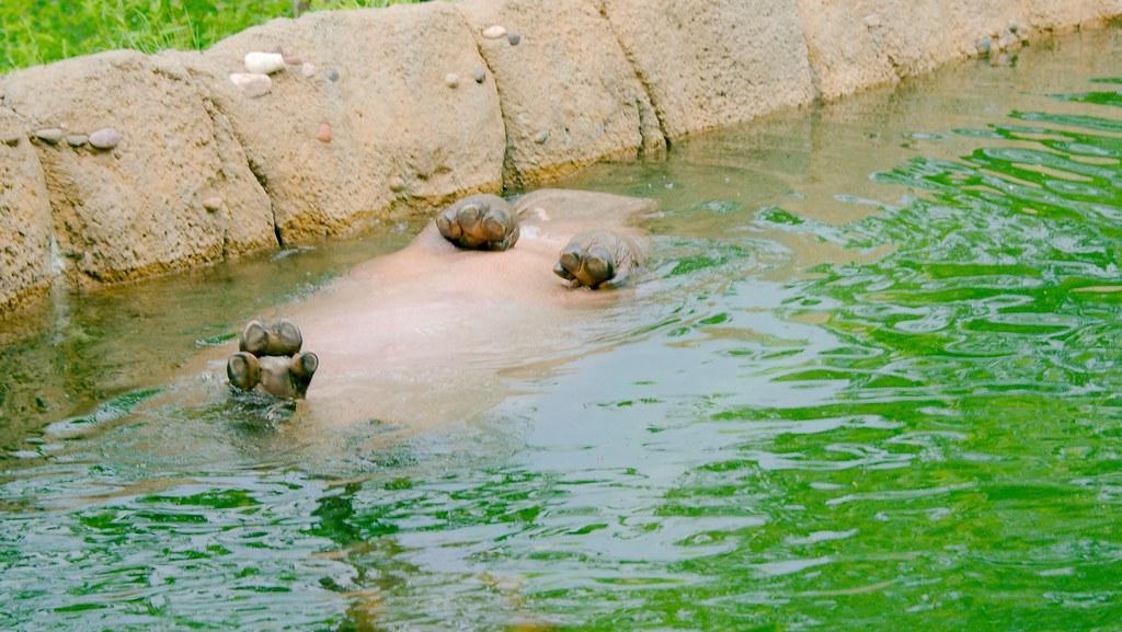 Hippopotamus (Hippopotamus amphibius)_25