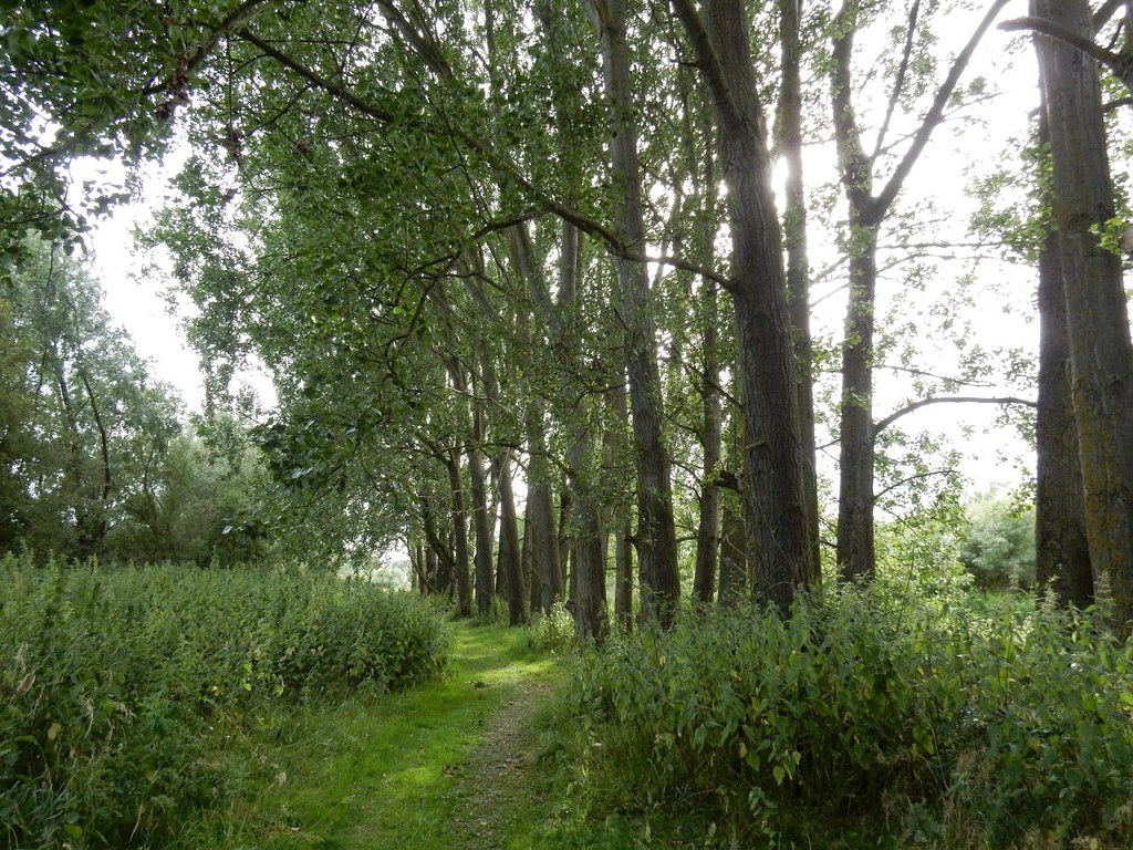 Line of Poplars Godmanchester nature reserve Huntingdon Circular (long)
