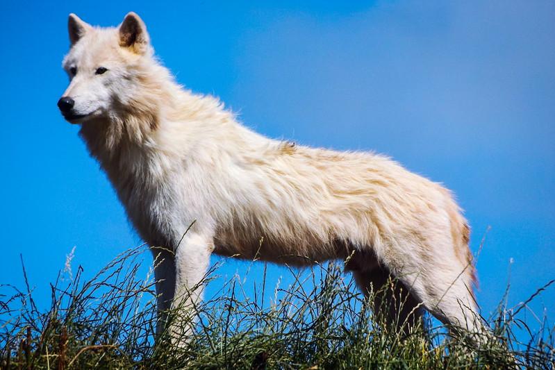 Alfa Male Arctic Wlf