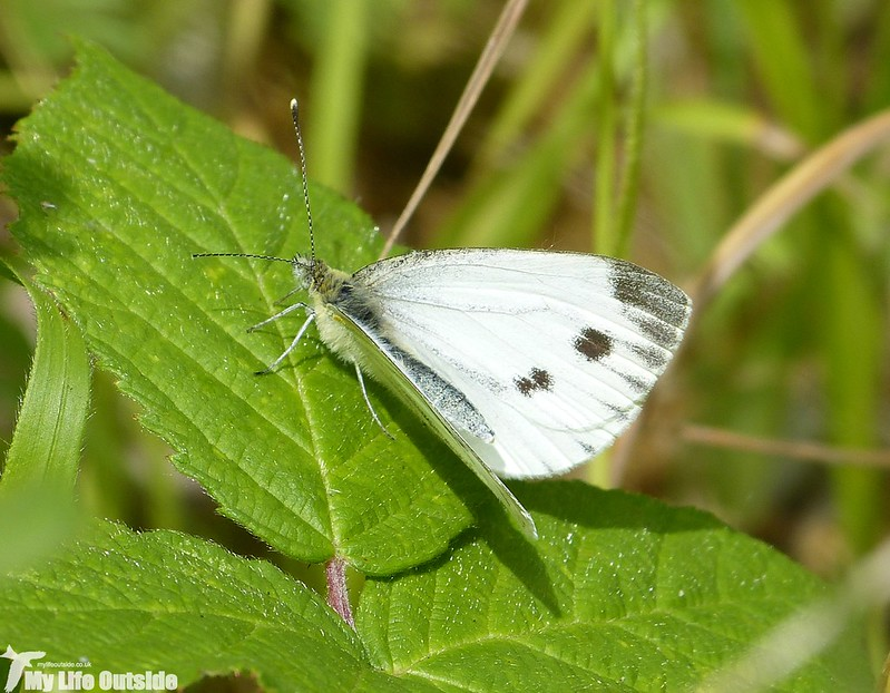 P1140328 - Large White, Lower Moor Farm