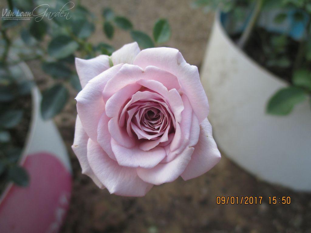 Lavender Crystal rose (7)-vuonhongvanloan.com