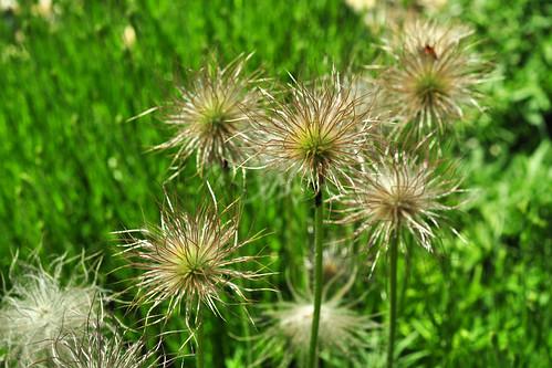 Gras-Ellenbach Odenwald Kneipp Kräutergarten Kräuter Heilkräuter Kuhschelle Juni 2015 Foto Brigitte Stolle