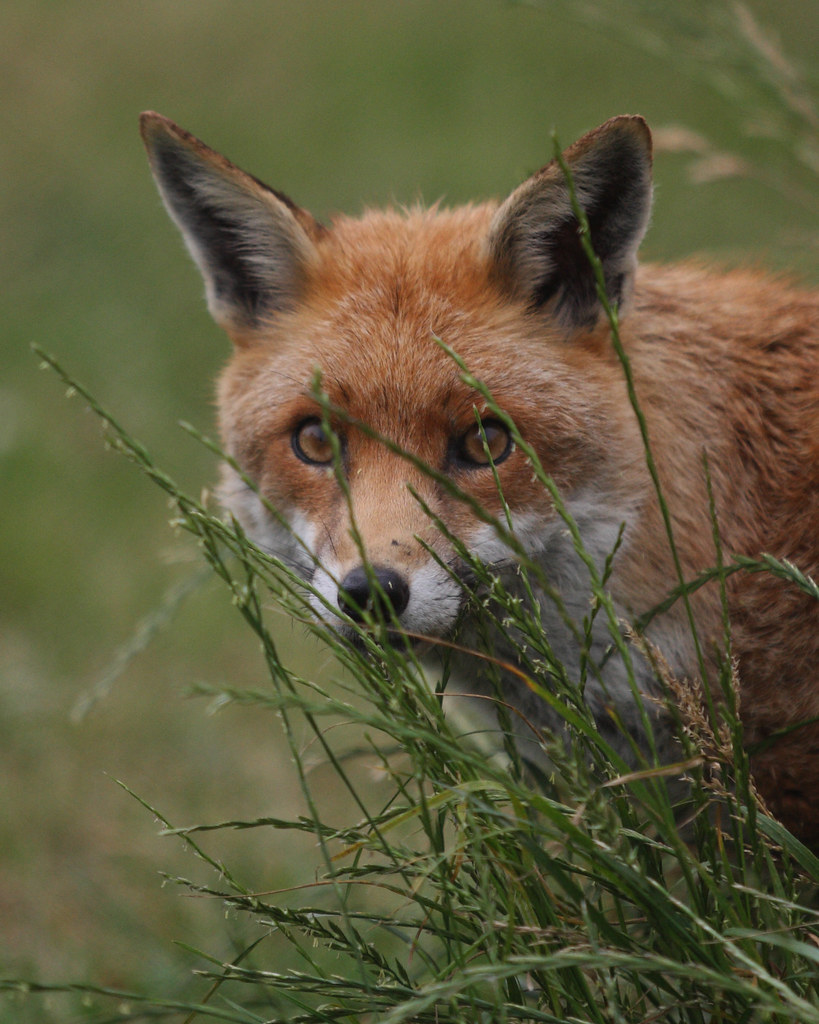 FOX (VULPES VULPES), BRITISH WILDLIFE CENTRE.