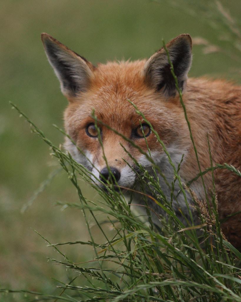 FOX (VULPES VULPES), BRITISH WILDLIFE CENTRE.