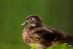 Hen wood duck protrait