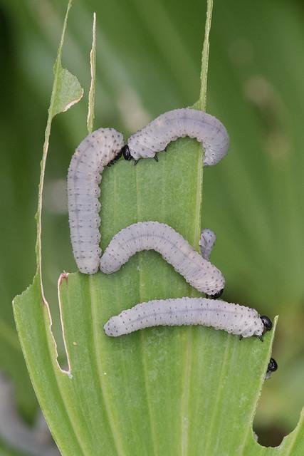 Solomon's Seal Sawfly larvae- Phymatocera aterrima