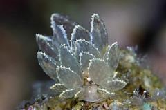 アミメウロコウミウシ Cyerce sp. 4