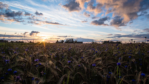 morning blue summer sky sun sunlight nature field clouds sunrise landscape dawn early lowlight fuji sweden outdoor tripod wideangle swedish farmland crop nordic 12mm scandinavia linköping östergötland cornflowers xt1 sättuna fujifilmxt1 samyang12mmf2